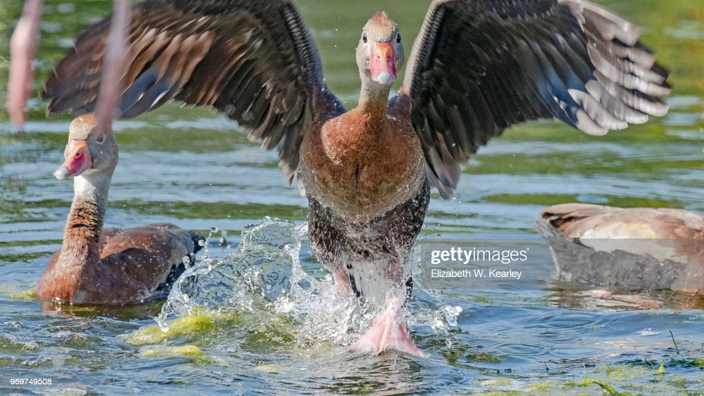 Black Bellied Whistling Duck About to Fly : Stock-Foto