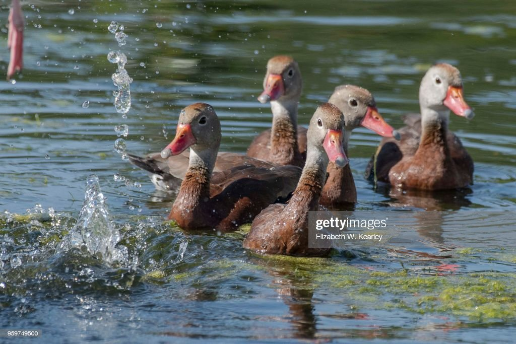 Black Bellied Whistling Ducks : Stock-Foto