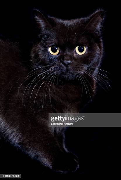 Black Betty, a black British Shorthair Cat poses for portraits at the Merseyside Cat Show at Sutton Leisure Centre on June 01, 2019 in St Helens,...