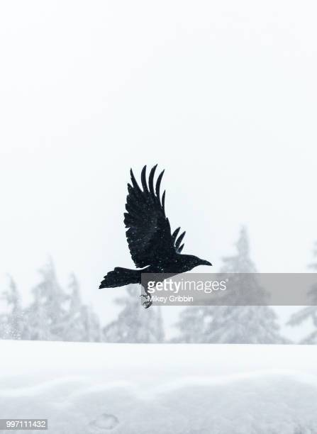 a black bird flying over a snow-covered landscape. - crow stock pictures, royalty-free photos & images