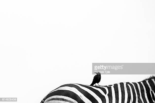 Black bird on a zebra
