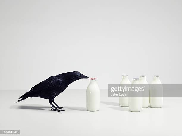 a black bird pecking at milk bottles - crow bird stock photos and pictures
