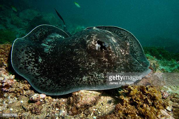 black blotched stingray - south wales stock pictures, royalty-free photos & images