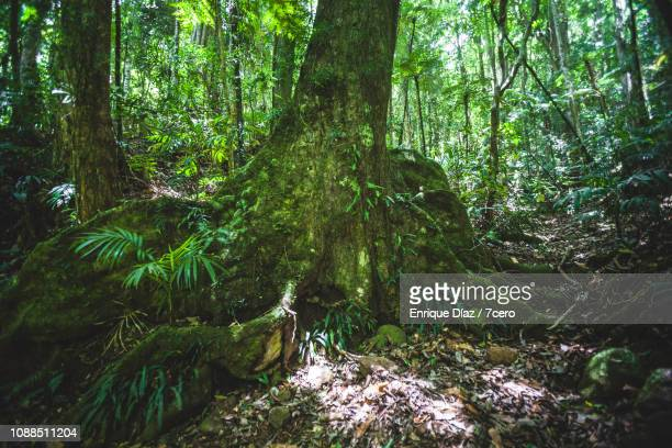 black booyong roots in lamington national park - foresta temperata foto e immagini stock