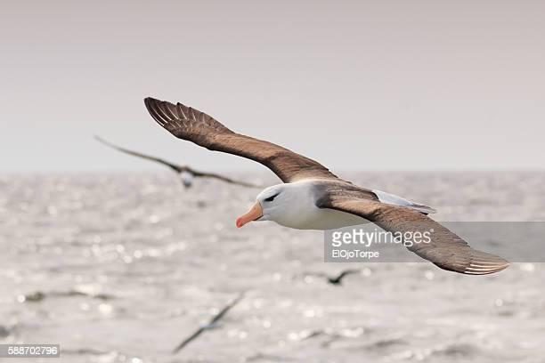 Black browed albatross (thalassarche melanophris) also known as black browed mollymawk flying with spread wings, near Isla de Lobos, Punta del Este, Uruguay.