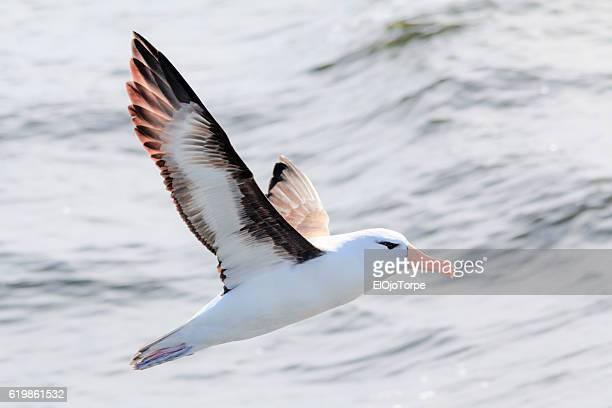 black browed albatross (thalassarche melanophris) also known as black browed mollymawk flying with spread wings, near isla de lobos, punta del este, uruguay - albatros stock-fotos und bilder