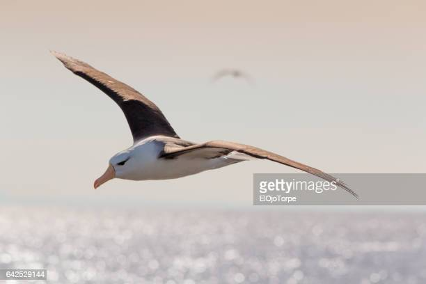 Black browed albatross (thalassarche melanophris) also known as black browed mollymawk flying with spread wings, near Isla de Lobos, Punta del Este, Uruguay.