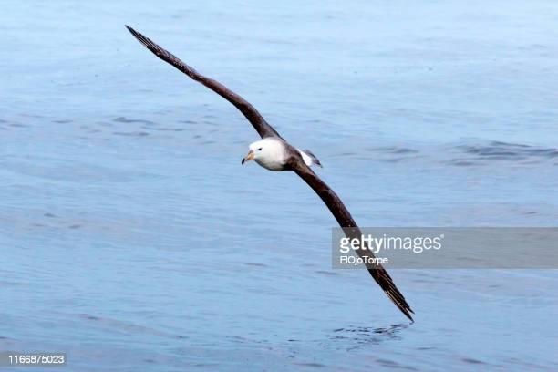 black browed albatross, bird flying, wing touching water, punta del este, uruguay - albatross stock pictures, royalty-free photos & images