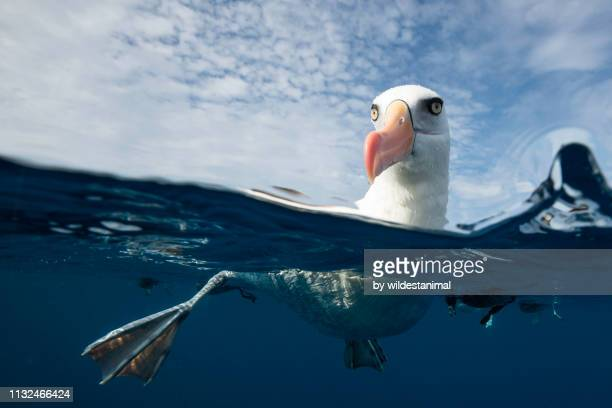 black browed albatross floating on the water, pacific ocean, offshore from the north island, new zealand. - albatross stock pictures, royalty-free photos & images