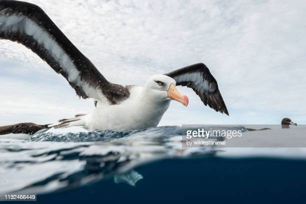 black browed albatross floating on the water, pacific ocean, offshore from the north island, new zealand. - spread wings stock pictures, royalty-free photos & images