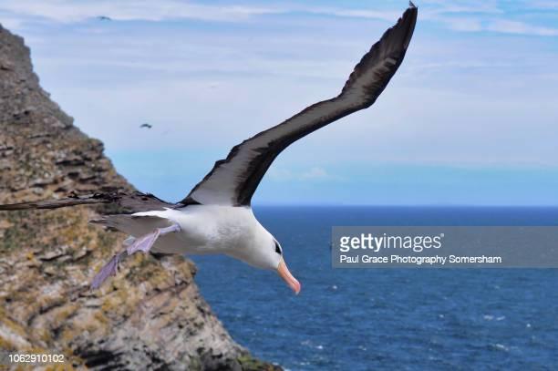black browed albatross in flight over on westpoint island falkland islands. - albatross stock pictures, royalty-free photos & images