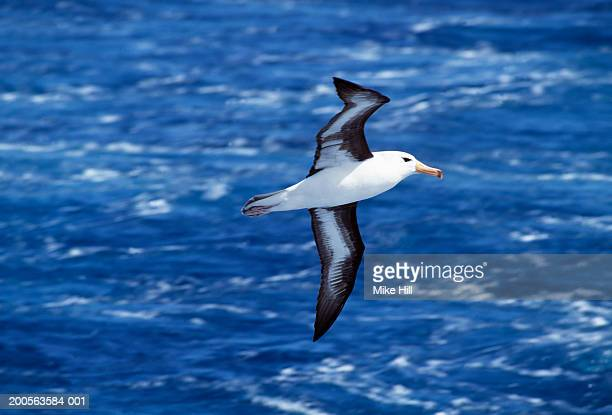 black browed albatross in flight over sea - albatross stock pictures, royalty-free photos & images