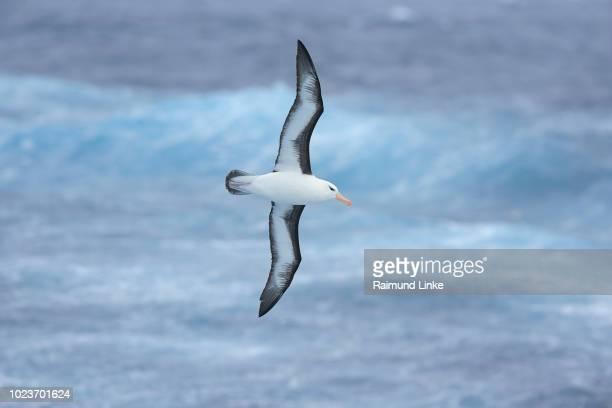 Black browed Albatross, Thalassarche melanophris, flying, Drake passage, Southern Atlantic Ocean, Anartica