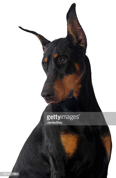 Black, Brown Male Doberman Pinscher Studio Portrait on White Background