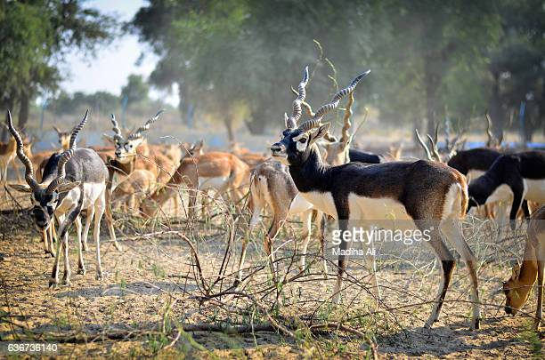 Black Buck grazing in the jungle