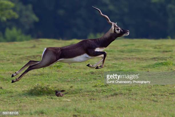 Black buck in action
