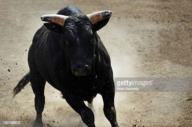 black bull - bullock stock photos and pictures