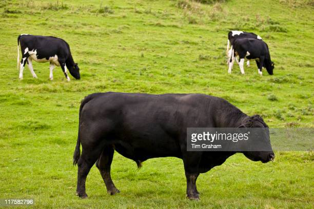 Black bull with ring through nose in meadow with cows in The Cotswolds Oxfordshire England United Kingdom