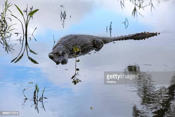 Black caiman large crocodilian of the Amazon basin in South America