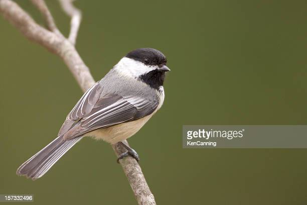 Black Capped Chickadee and Green Background