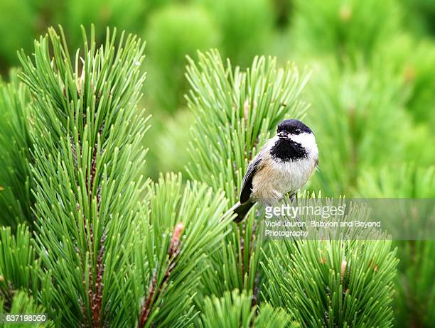 Black Capped Chickadee in Charlottown, PEI Canada