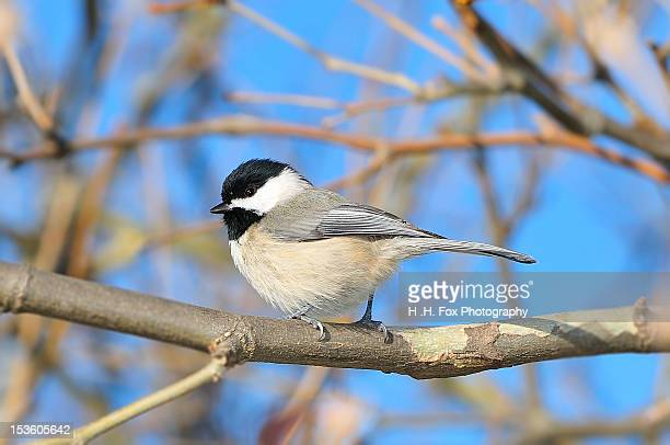 Black Capped Chickadee Perched in Sycamore Tree