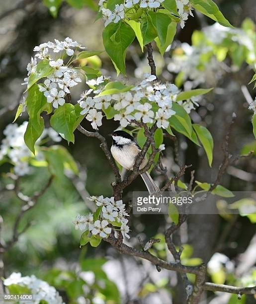 Black capped chickadee sits in blooming tree
