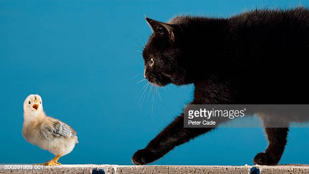 Black cat and little chick on wall, side view, close-up