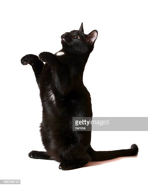 black cat begging - black cat stock photos and pictures