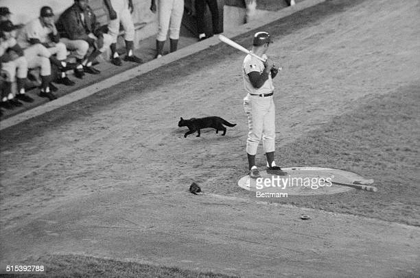A black cat crosses the path of Chicago Cubs player Ron Santo as he waits his turn at bat in a crucial game against the New York Mets The Cubs went...
