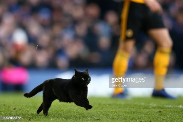A black cat holds up play by running onto the pitch during the Premier League match between Everton FC and Wolverhampton Wanderers at Goodison Park...