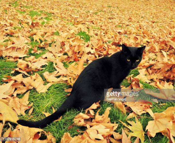 black cat in a sea of autumn leaves - bad luck stock pictures, royalty-free photos & images