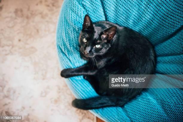 Black cat looking above.