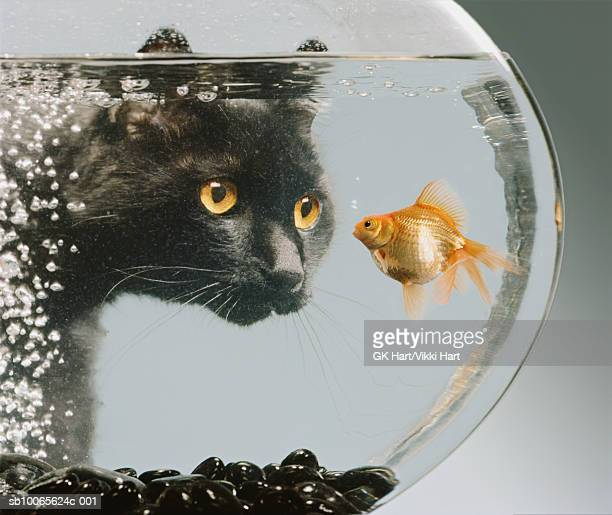 Black cat looking at goldfish in bowl