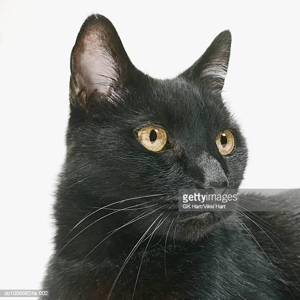 Black cat on white background, close-up