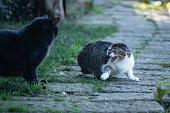 black cat challenging white grey female