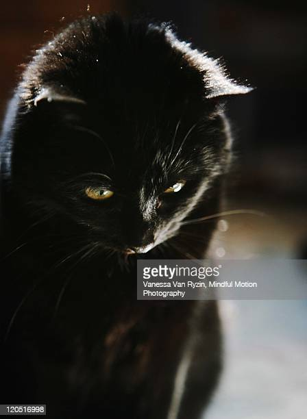 black cat - vanessa van ryzin stock photos and pictures