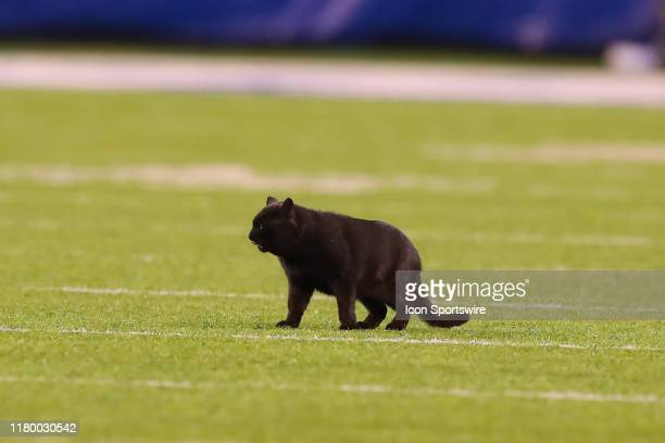 Black Cat runs onto the field during the second quarter of the National Football League game between the New York Giants and the Dallas Cowboys on...