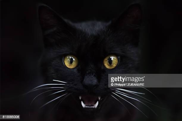 black cat showing his teeth - gatto nero foto e immagini stock