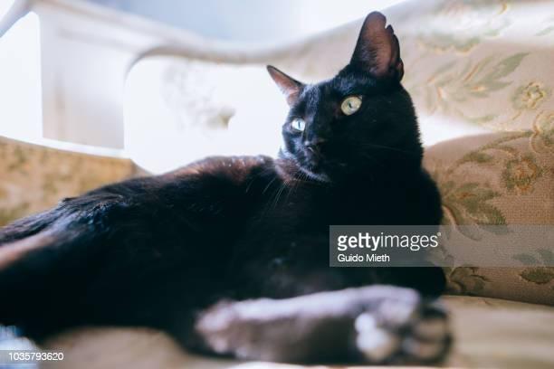 Black cat sitting on a sofa.