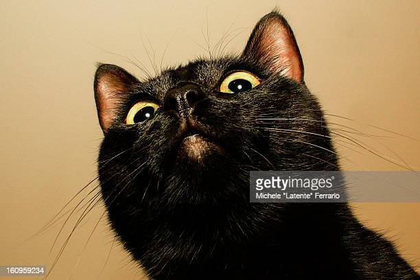 black cat snout - black cat stock photos and pictures