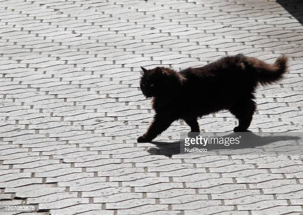 A black cat walks at a sunny spring day in central Kyiv Ukraine on 13 March 2020
