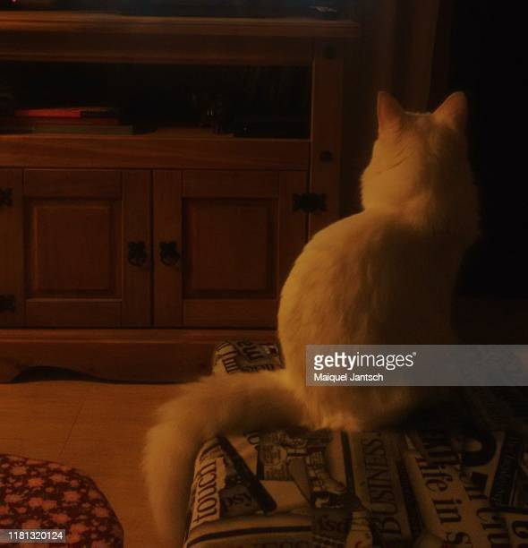 black cat watching a lion on television - black siamese cat stock pictures, royalty-free photos & images