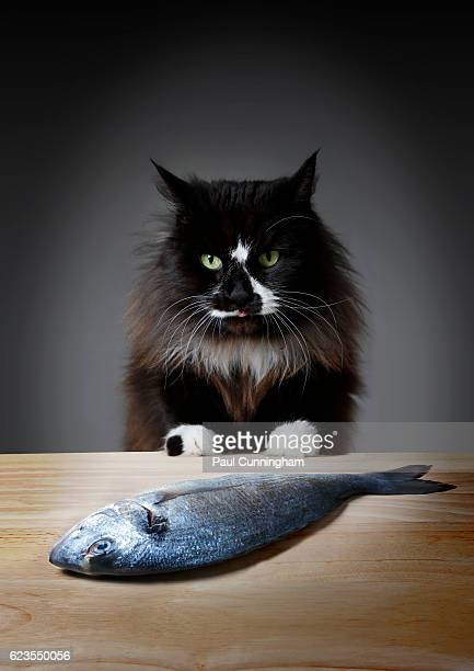 A black cat with white paws and patches licks its lips after finding a fresh on the kitchen table
