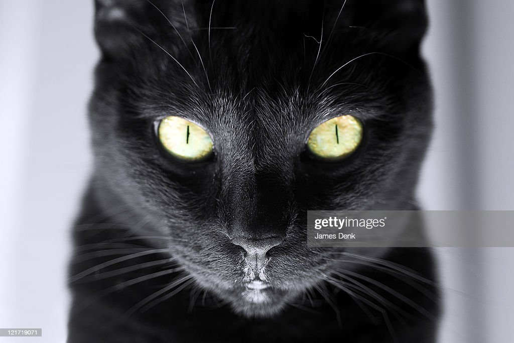 Black Cat with Yellow Eyes, Portrait with Extreme Detail of Whiskers and Nose : Stock Photo