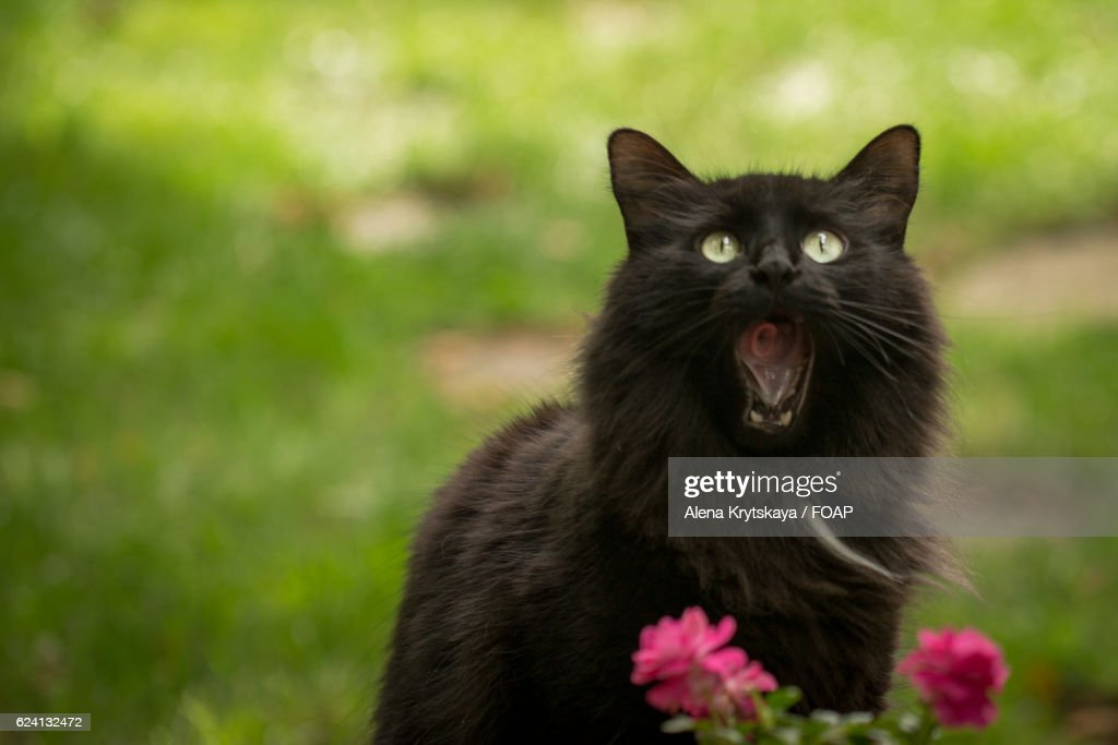 Black Cat Yawning Stock Photo Getty Images