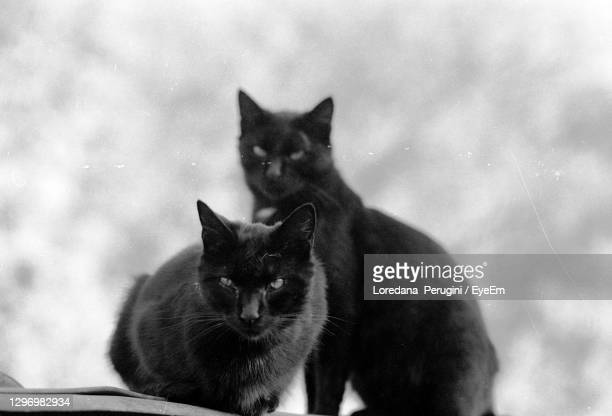black cats - loredana perugini stock pictures, royalty-free photos & images