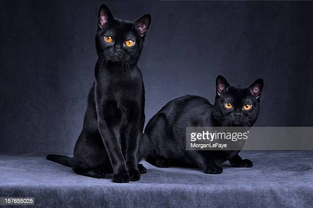 black cats - burmese cat stock pictures, royalty-free photos & images