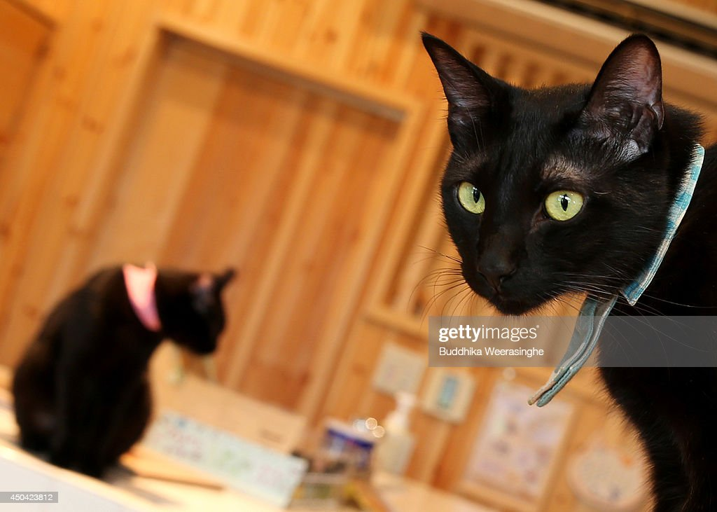 Japan's Black Cats Only Cat Cafe : News Photo