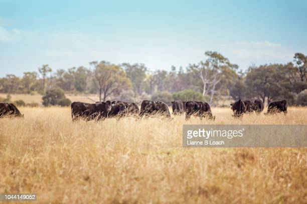 black cattle herd - lianne loach - fotografias e filmes do acervo